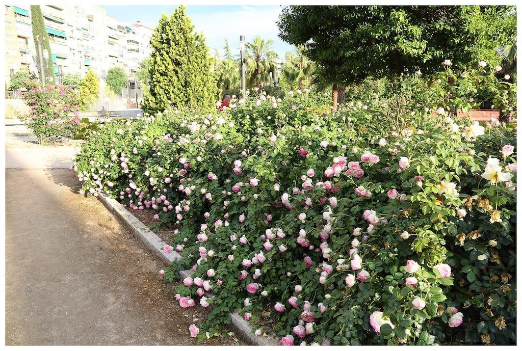 rosales-ferrer-setos-rosa