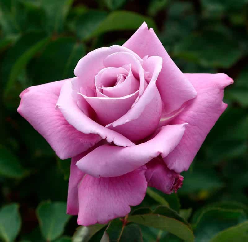 Charles de gaulle rosales ferrer for Viveros el rosal